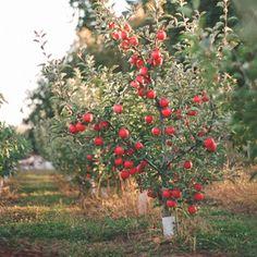Mt. View Orchards, Mt. Hood, Oregon. U Pick apples and pears. Visit upickfarmlocator.com to find more U-Pick Farms near you. #gopicking #applepicking #mthoodoregon