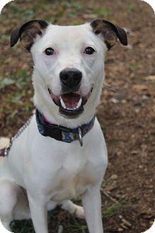 Waldorf, MD - Jack Russell Terrier Mix. Meet Irene, a dog for adoption. http://www.adoptapet.com/pet/11556391-waldorf-maryland-jack-russell-terrier-mix