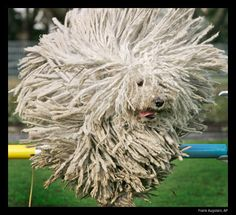 puli dog - Google Search