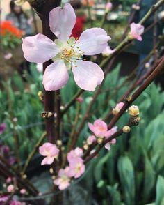 Ботанический сад | Аптекарский огород | ВКонтакте  Веточки цветущей сакуры