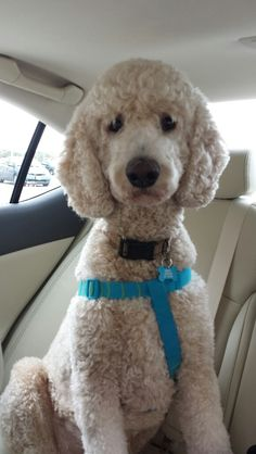 2 year old Standard Poodle Bosley - Going for a ride in the car