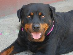 SAFE!  MINNIE - A1000634   FEMALE, BLACK / TAN, ROTTWEILER MIX, 2 yrs  STRAY - STRAY WAIT, NO HOLD Reason STRAY  Intake condition NONE Intake Date 05/22/2014, From NY 11236, DueOut Date 05/25/2014