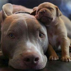 20 Cute Pitbull Dog Puppies | http://fallinpets.com/20-cute-pitbull-dog-puppies/