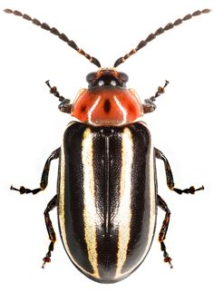 Disonycha glabrata Beetle Insect, Beetle Bug, Beautiful Bugs, Amazing Nature, Bees And Wasps, Animal Species, Bugs And Insects, My Animal, Beatles
