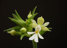 Orchid: Calanthe argenteostriata - Flickr - Photo Sharing!
