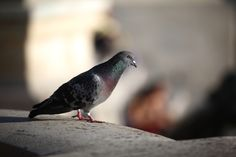 Pigeon in Lisbon, Portugal