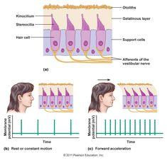 Basal Ganglia, Vestibular System, Medical School, Physiology, Disorders, Medicine, Meditation, Study, Science