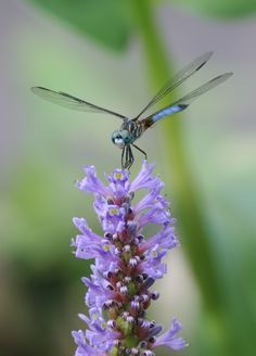http://floragoddessofflowersandspring-daw.blogspot.ca/2013/02/how-to-attract-dragonflies-to-your.html