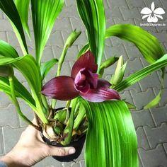 Lycaste skinneri x Costata Black orchids                                                                                                                                                      Más