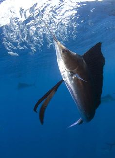 Amazing picture of a Sailfish