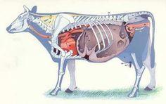 Osteologia e órgãos Bovino