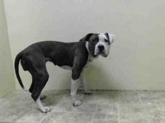 Brooklyn Center   JADA - A0995279  *** DOH HOLD 03/31/14 ***  FEMALE, BR BRINDLE / WHITE, PIT BULL MIX, 2 yrs STRAY - ONHOLDHERE, HOLD FOR DOH-NHB Reason STRAY Intake condition NONE Intake Date 03/31/2014, From NY 11207, DueOut Date  Medical Behavior Evaluation GREEN https://www.facebook.com/photo.php?fbid=780336801979201&set=a.617941078218775.1073741869.152876678058553&type=3&theater