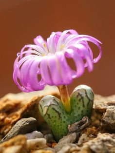 Conophytum Turrigerum Is An Attractive Succulent Plant, Stemless Or With  Short Stems With Time.