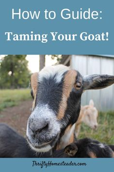 How to care for a senior goat on the homestead- the complete guide to senior goat care and providing for goats as they age Prey Animals, Farm Animals, Cute Animals, Ufo, Breeding Goats, Raising Goats, Raising Kids, Raising Chickens, Goat Care