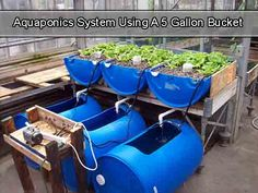 Aquaponics System Using A 5 Gallon Bucket Backyard Aquaponics, Aquaponics Fish, Aquaponics System, Hydroponic Systems, 55 Gallon, Growing Plants, Fish Tank, Cool Things To Make, Organic Gardening