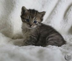 Pixie-Bob Cats Cattery | mooie pixiebob kittens | Advertenties - Kattenplaza Wild Cat Breeds, Pixie Bob Cats, Cattery, Doll Furniture, Cute Baby Animals, Funny Cute, Tigers, Cats And Kittens, Cute Babies