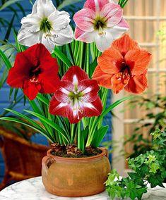 Buy Amaryllis - Mix Flower bulb from Bulb Flowers, Flowers Nature, Pretty Flowers, Flower Pots, Paper Flowers, Orquideas Cymbidium, Amaryllis Bulbs, Amarillis, Balcony Flowers