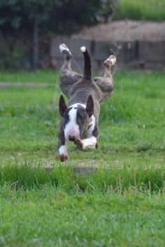 """She said yes!"" #dogs #pets #BullTerriers Facebook.com/sodoggonefunny"