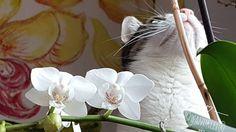 Der Atelierkatz steht auch auf Blumen und ist sehr entzückt dass nun fast alle Orchideen blühen.   Und er frisst sie nicht auf die werden nur beschmust.  Blumensträuße sind vor ihm (und seiner Zwillingsschwester) allerdings nicht sicher. Als Mensch würde er wohl Florist werden.  Sind eure Haustiere auch Blumenfans?  Die XXL -Orchideen im Hintergrund sind an die Wand gemalte Dauerblüher soll ich die auch mal in ganzer Pracht zeigen? .  #wandklex #malerei #handgemalt #orchidee #orchideen…
