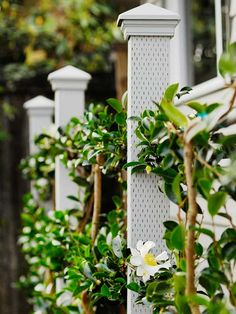 How to Build a Living Fence - I'm so going to do this with our wisteria!!  And maybe some roses too!