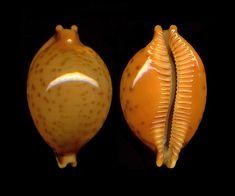 Cypraea globulus