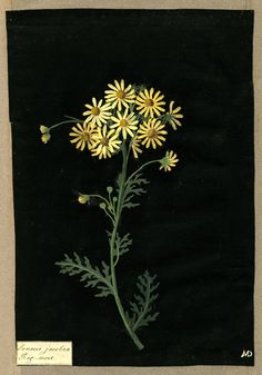 """Mary Delany (English, 1700-1788) - """"Senecio Jacobea"""", 1782 - Collage of coloured papers, with bodycolour and watercolour, on black ink background"""