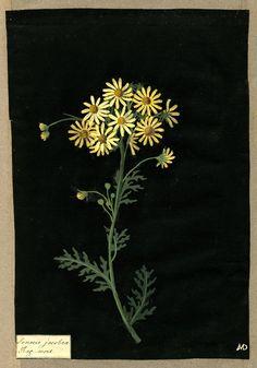 """Mary Delany, Botanical """"Paper Mosaiks"""" Artist, 1700-1778 - Senecio Jacobea, 1782"""