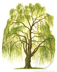 Image result for weeping willow drawing