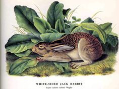 Audubon- Lepus callotis callotis Wagler, White-sided Jackrabbit