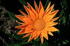 Sunflower - Annual Flower Plant For Your Garden Herb Garden Design, Annual Flowers, Planting Flowers, Orange, Herbs, Summer, Plants, Year Round Flowers, Summer Time