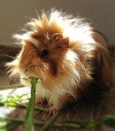 fluffy guinea pig