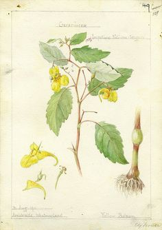 Impatiens noli-tangere, Cumbria 1911 by peacay, via Flickr
