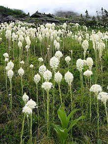 Bear Grass, Seeds Xerophyllum tenax is a North American species of plants in the corn lily fami Types Of Flowers, Wild Flowers, Irish Moss Ground Cover, Growing Grass From Seed, Ground Cover Seeds, Montana, Indian Baskets, Seed Catalogs, Grass Seed