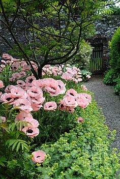 PINK_POPPIES_IN_THE_GARDEN_AT_GLENAE