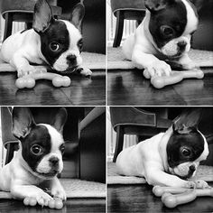#TBT of our Original Nugget. Lulu, the French Bulldog Puppy, by lulu_olive_and_harlow http://ift.tt/1DPhzaU