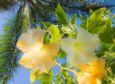 Three things you should know about Brugmansia.