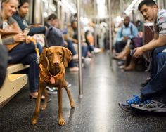 """Nugget, Vizsla (4 y/o), R Train, New York, NY • """"She's not really supposed to ride the train without a bag, but people like her and usually nobody says anything."""""""