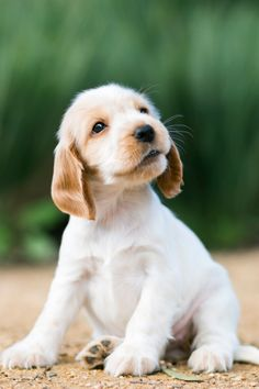 "Get excellent pointers on ""cocker spaniel puppies"". They are on call for you on our site. Cute Puppies, Cute Dogs, Dogs And Puppies, Doggies, Cutest Puppy Ever, Cockerspaniel, Cocker Spaniel Puppies, Dog Rules, Cute Little Animals"