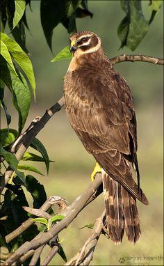 Pallid Harrier (Circus macrourus) Arjun Haarith