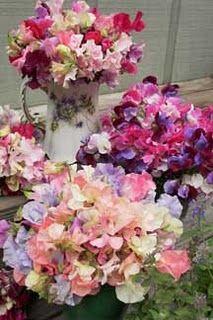 Bouquets of sweet peas from Renee's Garden Sweet Peas.