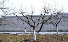 Снижение кроны яблони способствует открытию внутренней части кроны солнечному свету