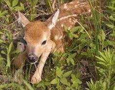 So Cute!!!  Baby Deer:)