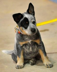 Little Blue Heeler...best dogs ever!!  #lovemyheeler