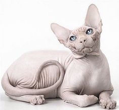 sphynx cats Baby Sphynx cat, these are delicate , cute and hairless, Just need some extra care for their skin, but will leave no hairs in your place which is big plus point Sphynx Gato, Chat Sphynx, I Love Cats, Crazy Cats, Cute Cats, Funny Cats, Purebred Cats, Egyptian Cats, Cat Character