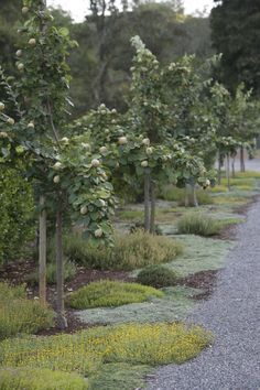 Three types of quince trees (Cydonia oblonga); below them, herbs like thyme create a groundcover tapestry.