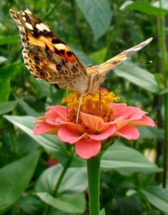 funny faced butterfly