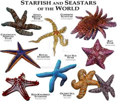 Starfish and Seastars of the World by rogerdhall on DeviantArt