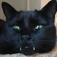 Black cats are good luck! Right Meow, Warm Fuzzies, Like Animals, Cat Life, Cool Cats, Cat Art, Animal Kingdom, Fur Babies, Kawaii