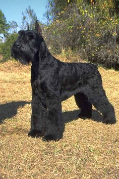 Everything we all admire about the Miniature Schnauzer Pup Schnauzer Mix, Schnauzers, Schnauzer Grooming, Standard Schnauzer, Giant Schnauzer, Miniature Schnauzer, Dog Grooming, Bullmastiff, Rhodesian Ridgeback