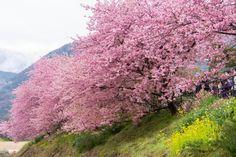 i2.wp.com www.kyuhoshi.com wp-content uploads 2016 02 kawazu_cherry_blossom_festival_japan.jpg?fit=800%2C534&ssl=1
